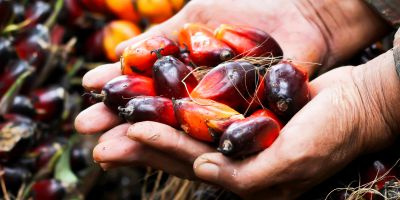 fruit of oil palm tree