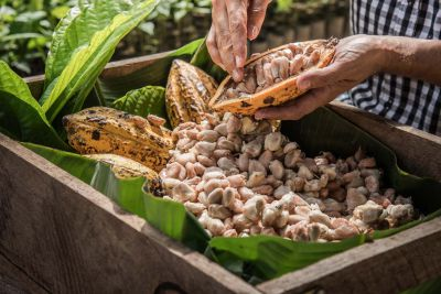 Cocoa beans being removed from the pods