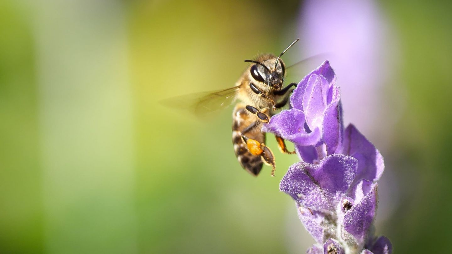 Holy bee: from corridors to sanctuaries