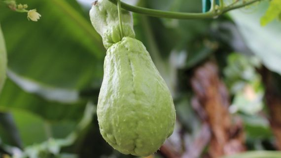 Chayote - low calorie and high nutrient fruit