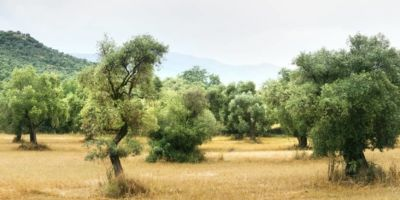 Olive oil is obtained from olives, the fruit of the olive tree.