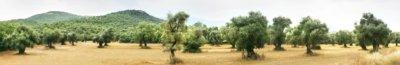 O azeite é o óleo da azeitona, o fruto da oliveira.