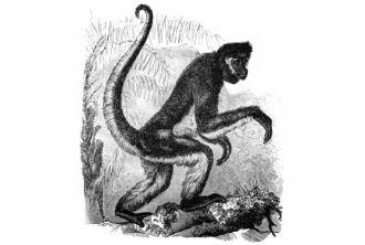 Brown Spider Monkey (Ateles hybridus)