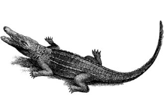 Crocodilo-do-orinoco (Crocodylus intermedius)