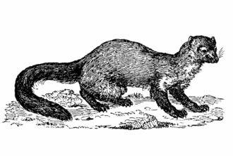 European Mink (Mustela lutreola)
