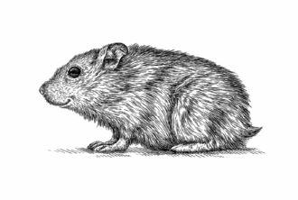 Hamster comum (Cricetus cricetus)