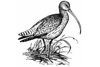 Maçarico-de-bico-fino (Numenius tenuirostris)