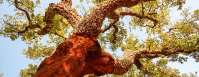 The Green Heart of Cork project aims to preserve the largest patch of oak trees in the world