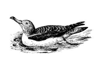 Pardela balear (Puffinus mauretanicus)