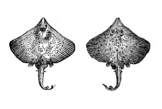 Raia oirega (Dipturus batis)