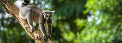 At the Lisbon Zoo, the Jerónimo Martins Group is the patron of the ring-tailed lemur,