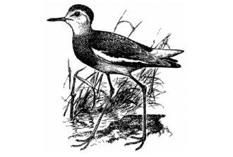 Sociable Lapwing (Vanellus gregarius)