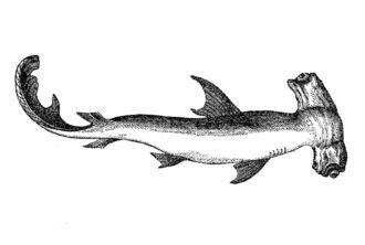 Tubarão-martelo-recortado (Sphyrna lewini)