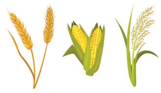 Milho, arroz e trigo