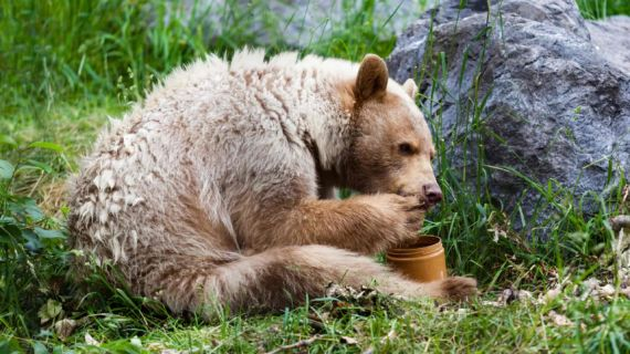 Thieving bears become honey tasters