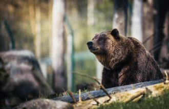 Brown bear, an extint species in the Portuguese territory